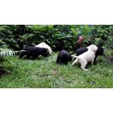 Cachorros Labradores, Región Del Maule