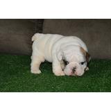 Filhote De Bulldog Inglês Linhagem Importada Dos Eua