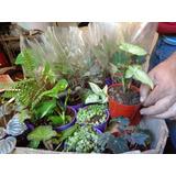 Mini Plantas De Interior Ideal Souvenir