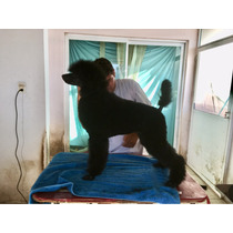 Cachorros Poodle Standard, Poodle Gigante