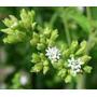 Stevia Rebaudiana Morita - 50 Sementes Para Mudas Manual