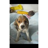 Perros Cachorros Beagle Limón Y Tricolor