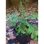 Plantines De Jacaranda Para Bonsai