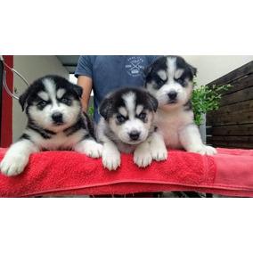 Husky Siberiano Olhos Azuis, Belíssimos