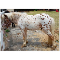 Semental Miniatura Mansito - Appaloosa Mini Pony