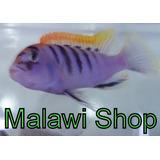 Combo Ciclidos Africanos - Malawi Shop