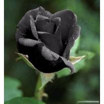 Rosa Preta Negra Exótica Rara Enfeite Seu Jardim 10 Sementes