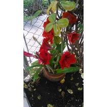 Bulbos De Azucena Color Rojo