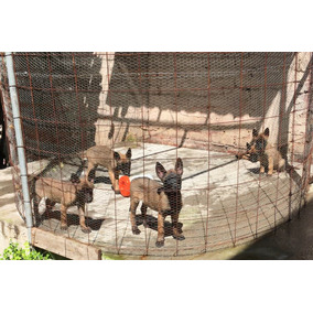 Cachorros Pastor Belga Malinois - Hembras