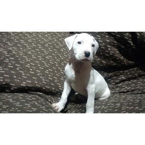 Dogo Argentino Cachorros Excelentes