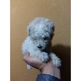 Cachorra French Poodle Minitoy 19cm Blanca