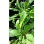 Planta De Berro De Tierra Organico Perenne