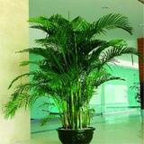 20 Sementes Coqueiro Palmeira Mini P/ Mudas Jardins Bonsai