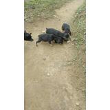 Cachorros Pincher-chiguagua Mini