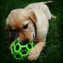 Cachorros Golden Retriever Hermosos, Sus Hijos Los Amaran!