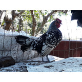 Gallo Serbrigth Un Año Puro