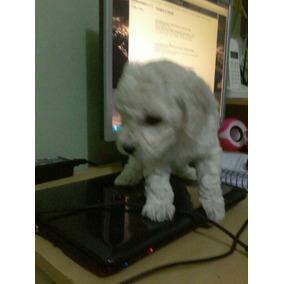 Vendo Filhotes De Poodle Micro Toy Fêmea Micrissima