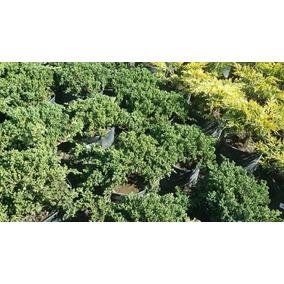 Arbolitos Para Bonsai Junipero Green Mountain