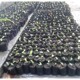 Plantas De Limoncillo, Bambu Y Caoba