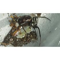 Araña Viuda Negra Viva!! Para Moscota (esta De Miedo)...