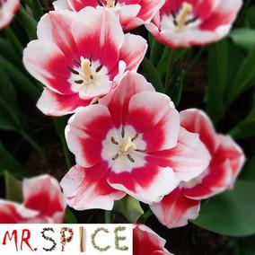 500 Sementes Da Flor Mini Azaléia Godétia Mudas Para Vasos