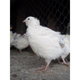 Ovos Galados De Codornão Gigante Branco - Compre 12 Leve 15