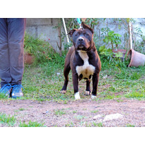 American Staffordshire Terrier Cachorros Hembras Excelente!!