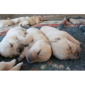 Reservas Filhotes Labrador Legítimo.