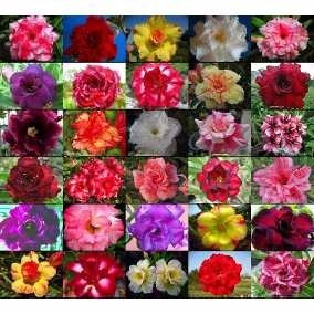 Kit 30 Sementes Rosa Do Deserto Adenium Obesum Mix 30 Cores