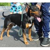 Bull Terrier Ingles Disponible Para Montas