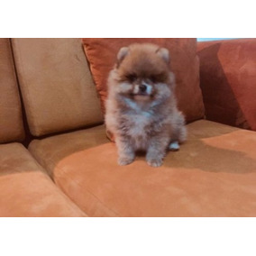 Cachorros Pomeranian, Excelente Linea - Garantía Real.