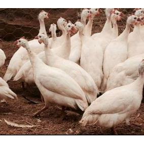 Ovos Galados Galinhas De Angola Branca