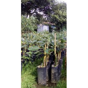 Planta De Aguacate Mendez