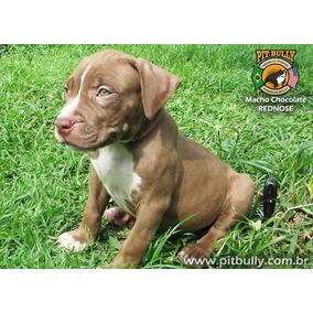 Filhote Pitbull Rednose Macho Olhos Verde Chocolate Pedigre