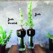 Jade Little Plant 15, Maceta Autorregante
