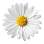 435 Sementes De Margarida Gigante Branca  Flor/jardim/horta