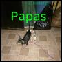 Cachorros Chihuahua Machos