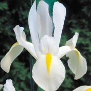 Bulbos De Iris Hollandica 4 Colores X 5 Bulbos De Holanda