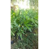 Palmera Trachycarpus 1 Metro En Paine Solo Retiros