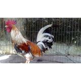 Pollos Crestones De Cría