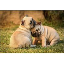 Cachorros Bulldog Francés Vaquita Y Negro Fca