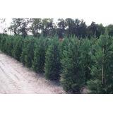 Cipres Lambertiana 80/100 Cm Plantas Para Cerco Envios