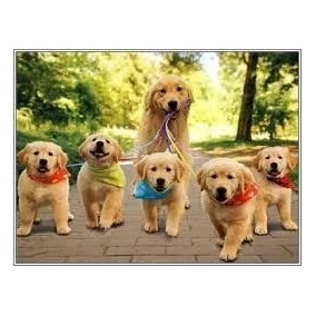Golden Retriever Cachorros! Aceptamos Tarjetas