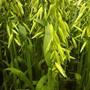 Sementes De Aveia Branca Para Plantio 5 Kg
