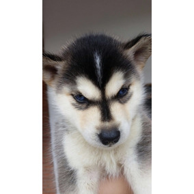 Filhotes De Husky Siberianos