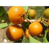 2 Mudas Gabiroba Guavira Guabiroba Tam P 20-cm.*fruta