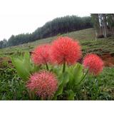 100 Sementes Coroa Imperial - Flor De Novembro Com Garantia