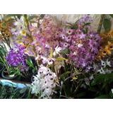 6 Mudas Orquídeas Dendrobium Nobile Adultas Sortidas