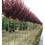 Prunus Pisardi 2-2,50 M. Arbol Vereda. Despacho Gratis