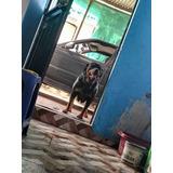 Cachorro Rottwailer Interesados Llamar 959984121